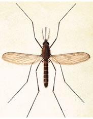 moustique adulte