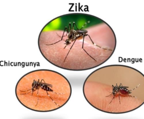 La piqûre d'un moustique tigre peut provoquer des maladies contagieuses