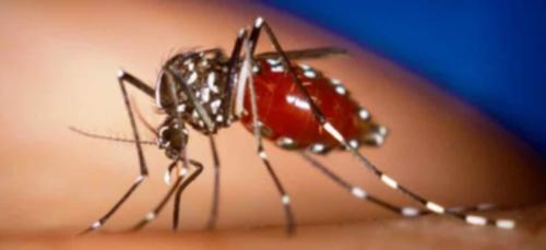 Le moustique n'est pas une menace pour le SIDA